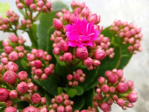 它是长寿花的新品种,颜值高开花似小灯笼,名叫宫灯长寿花