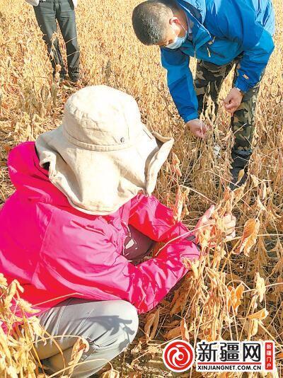 【夺取疫情防控和经济社会发展双胜利】新疆大豆麦后免耕精播技术取得重要进展