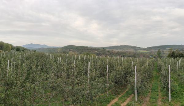 漫山遍野苹果红 洛宁上戈苹果喜获丰收