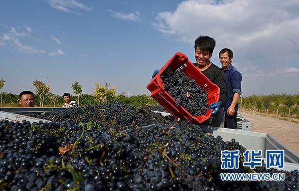 青铜峡市酿酒葡萄喜获丰收。(图片由青铜峡市委宣传部提供)