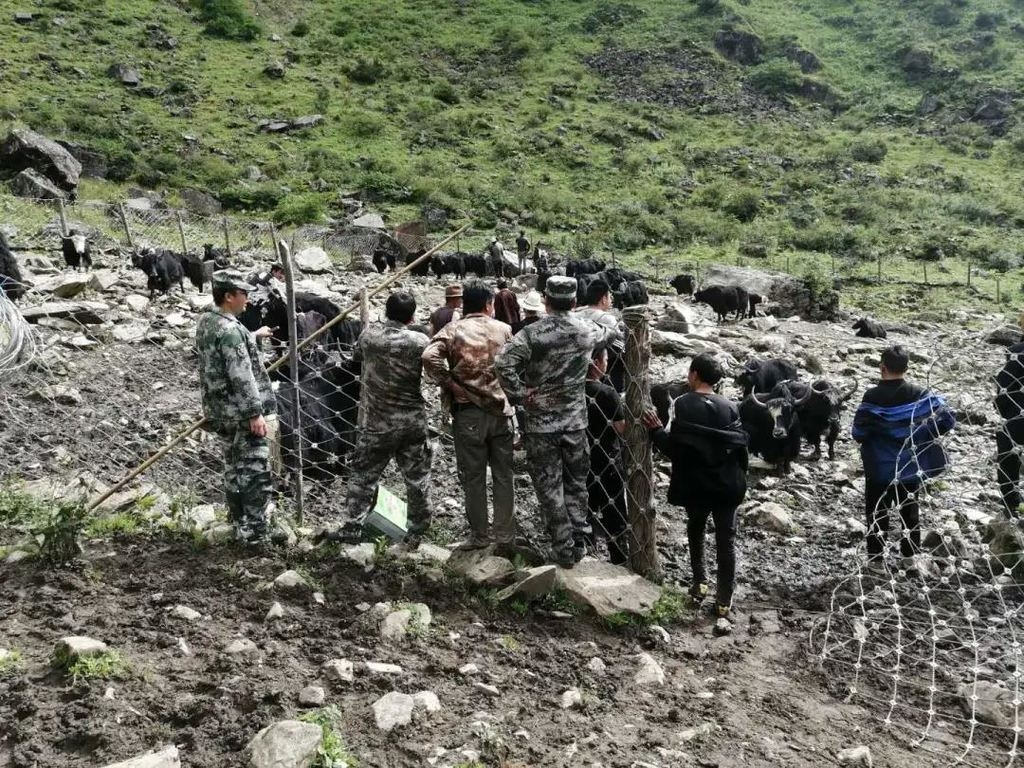 雅江警方破获特大系列团伙偷牛盗马案,追回被盗牦牛49头
