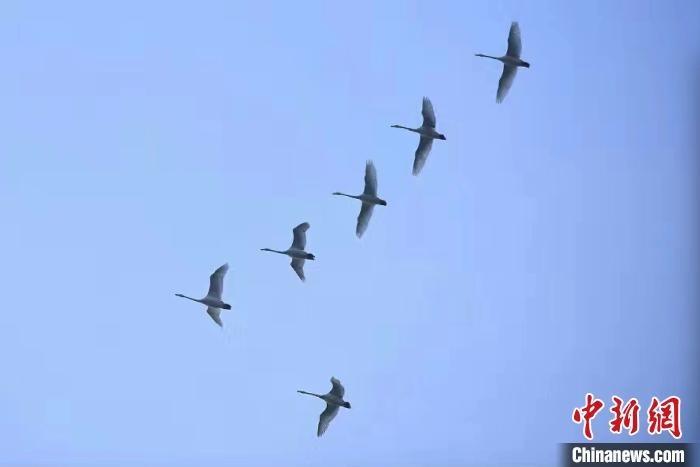西伯利亚白天鹅提前一周飞抵黄河湿地越冬