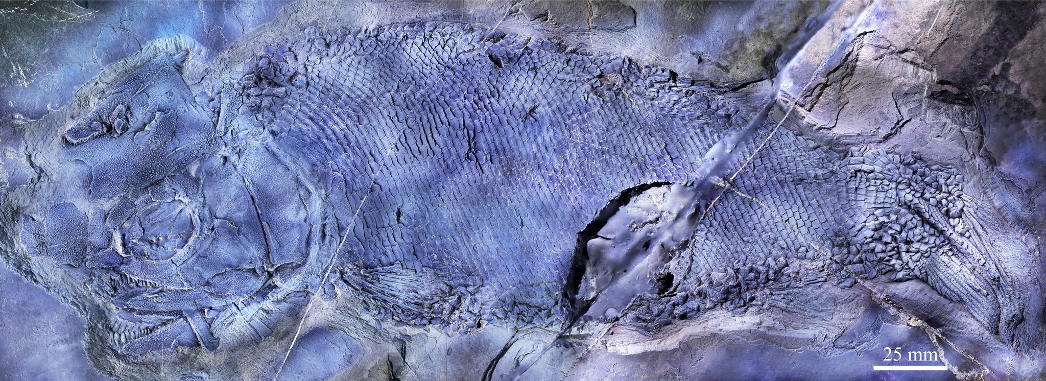 云南罗平首现云南暴鱼化石,见证三叠纪海洋生物复苏图片