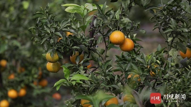 视频 | 阆中市天宫镇五龙村:柑橘挂满枝头 一派丰收景象