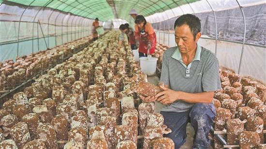楚雄州大姚县:食用菌产业促增收