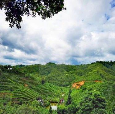 品牌知名度不断提升!梧州六堡茶今年产量预计达2万吨