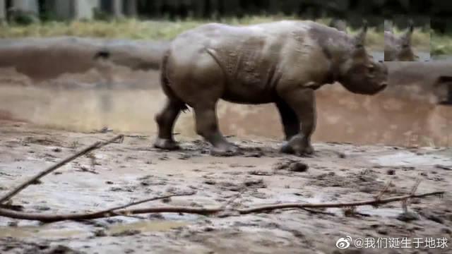 小犀牛在泥巴里打滚,可把这个小家伙开心的
