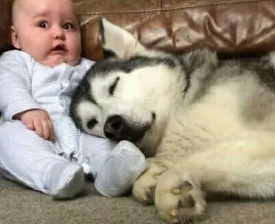 让哈士奇照看小宝贝,结果听到哭闹声进来一看,差点没给气晕过去
