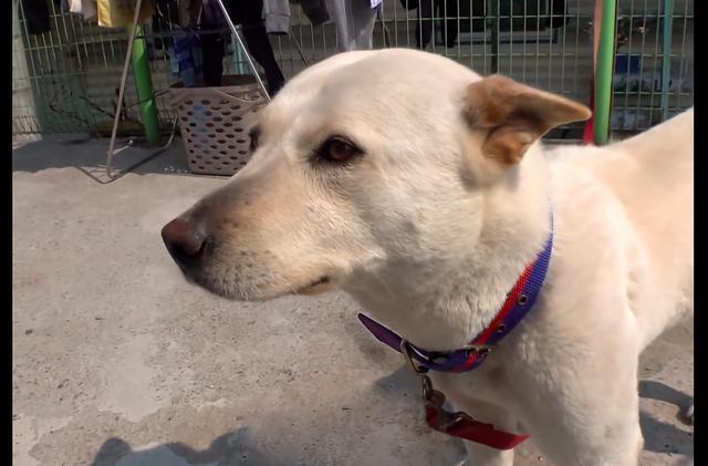 狗狗被送养后挣脱铁链跑丢,9天后出现在家门口,瘦得只剩皮包骨