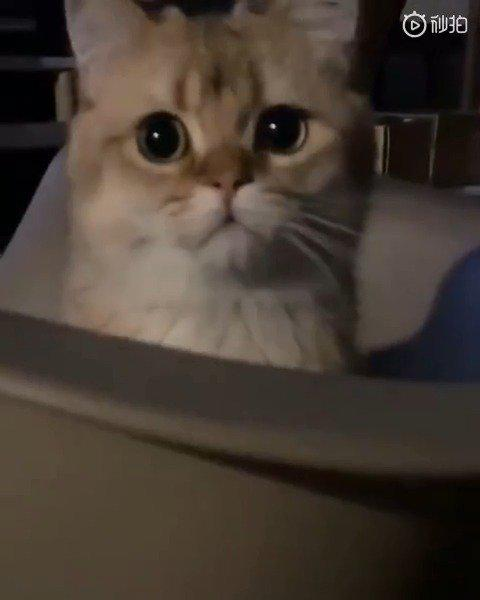 """学人发音的猫咪,最后那个""""呜喔""""萌出一脸血"""