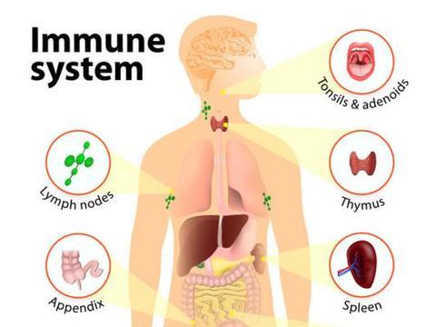 从衰老与免疫细胞关系讲起,赛立复线粒体素NADH如何提高免疫力