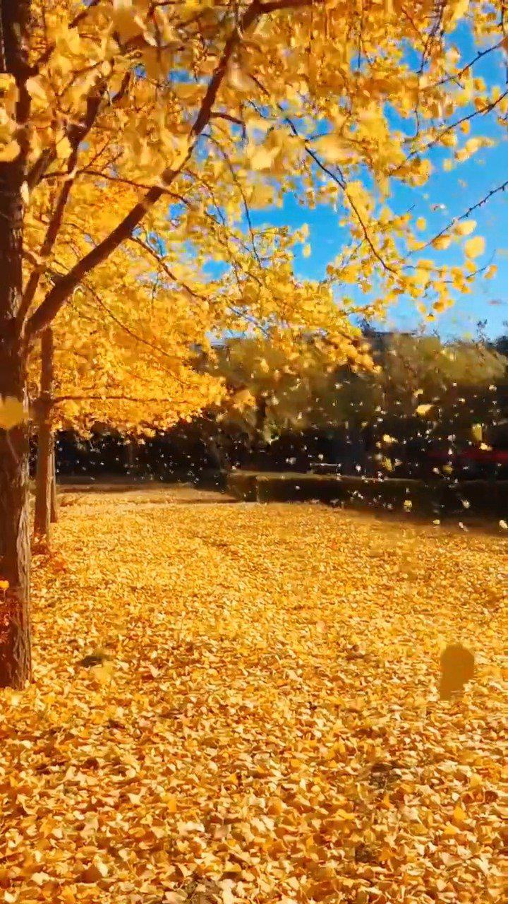 秋天是最温柔的季节,缓缓飘落的枫叶像思念 ,风是桂花味儿的