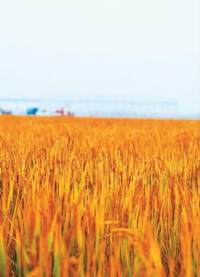 青岛海水稻迎来收获季