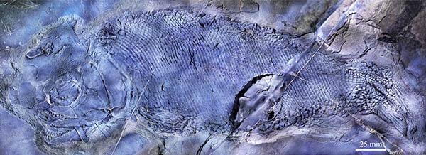 古脊椎所发现三叠纪大型肉食性基干新鳍鱼类