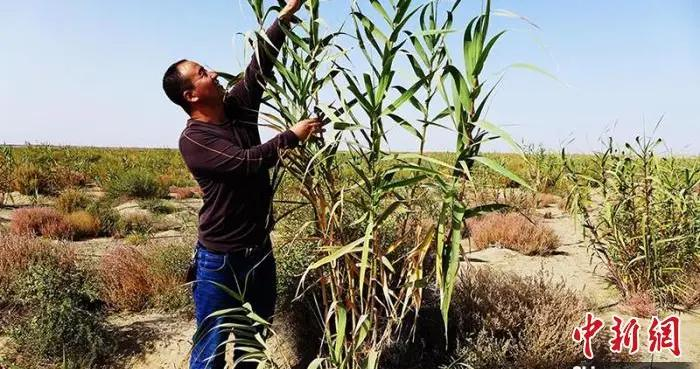 新疆兵团沙漠边缘成功定植耐旱植物 可兼顾生态和经济效益(图)