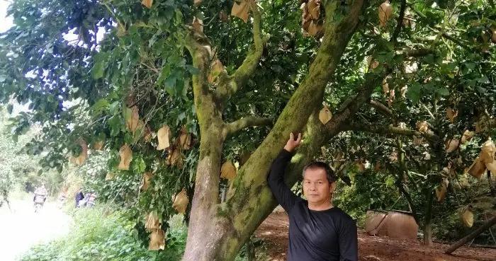 百岁老柚,硕果累累,年产果三四百公斤