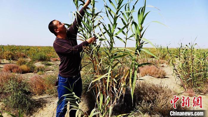 新疆兵团沙漠边缘成功定植耐旱植物 可兼顾生态和经济效益