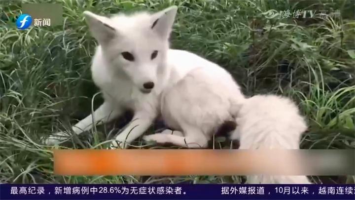 内江:办公区来了不速之客,通身雪白似狗非狗,原来是北极狐