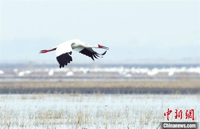 内蒙古图牧吉国家自然保护区迎北归候鸟 数量逐年上升