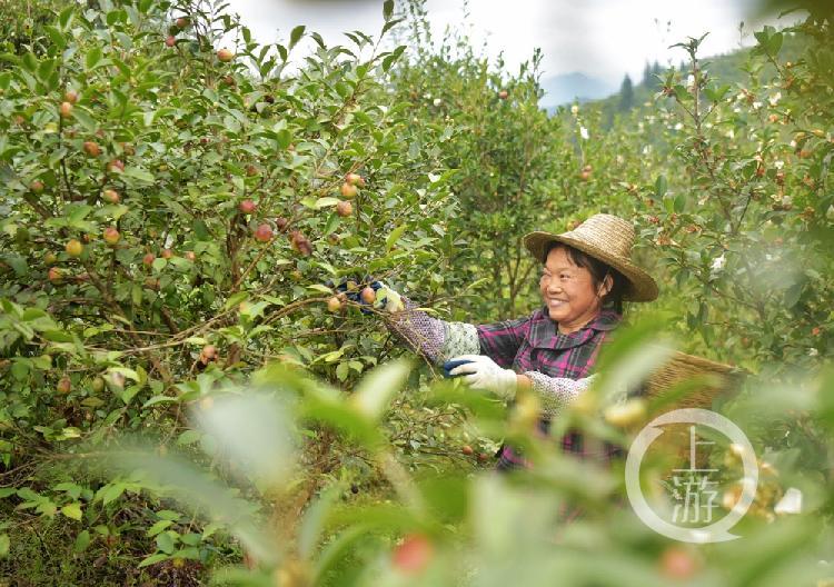 重庆酉阳:致富路上的油茶种植