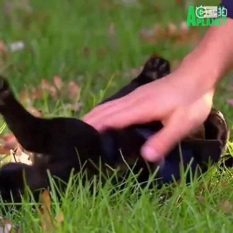 导盲犬很小很小的时候就要开始接受训练了……
