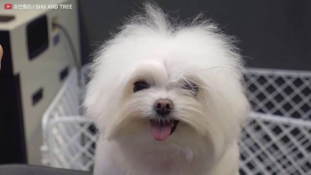 乖到不行的西施犬,找韩国宠物美容师SHU AND TREE做造型