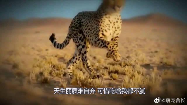 猫科动物中的闪电侠,动物界的短跑冠军猎豹冲刺合集