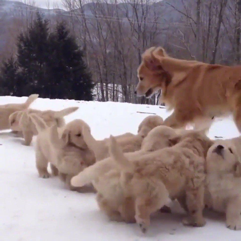 一大群金毛崽崽蓬勃的热情……