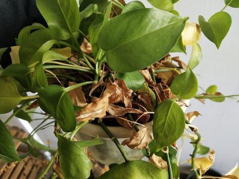 2种常见盆栽,浇水有讲究,用对方法,叶绿常青有生机