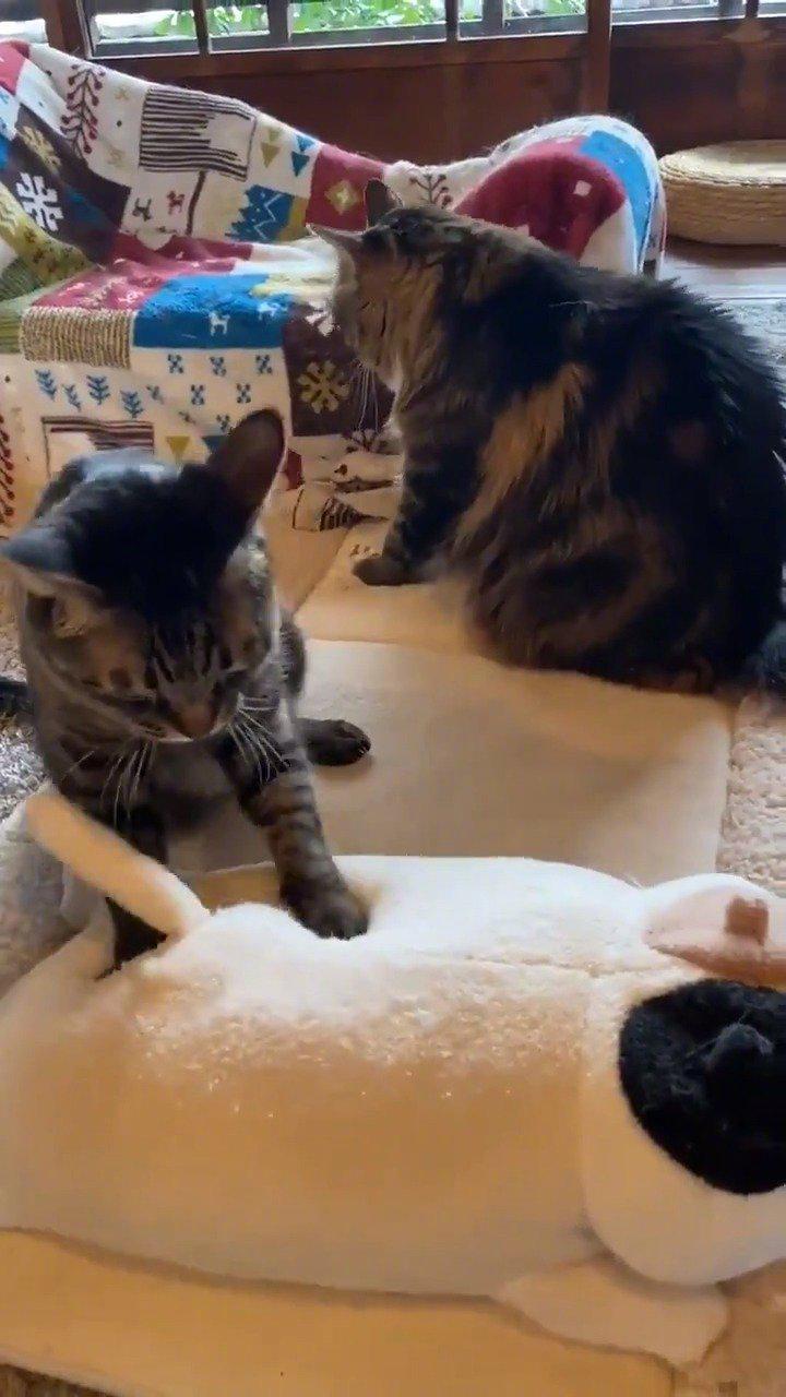 猫猫面包师今天一样很认真的在揉面团