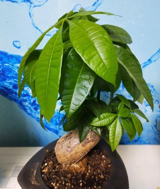 """养发财树,根据""""季节""""巧浇水,根系不烂,叶片绿油油,猛长新叶"""