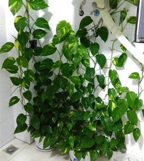 """绿萝""""长不旺"""",准备2种水""""浇灌"""",30天直冒新芽、新叶子"""