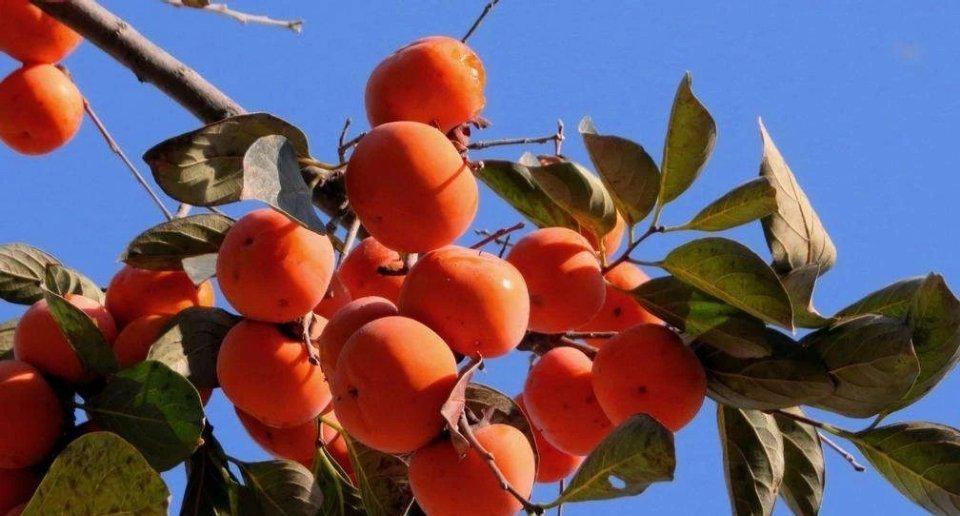 七月桃,八月梨 九月的柿子挂满集 有一种秋景 是两当的柿子红了