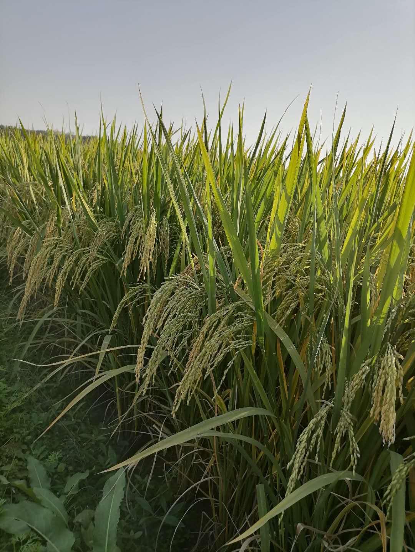 收获季雨水多气温低 衡南县宝盖镇晚稻收割还要等半个月图片