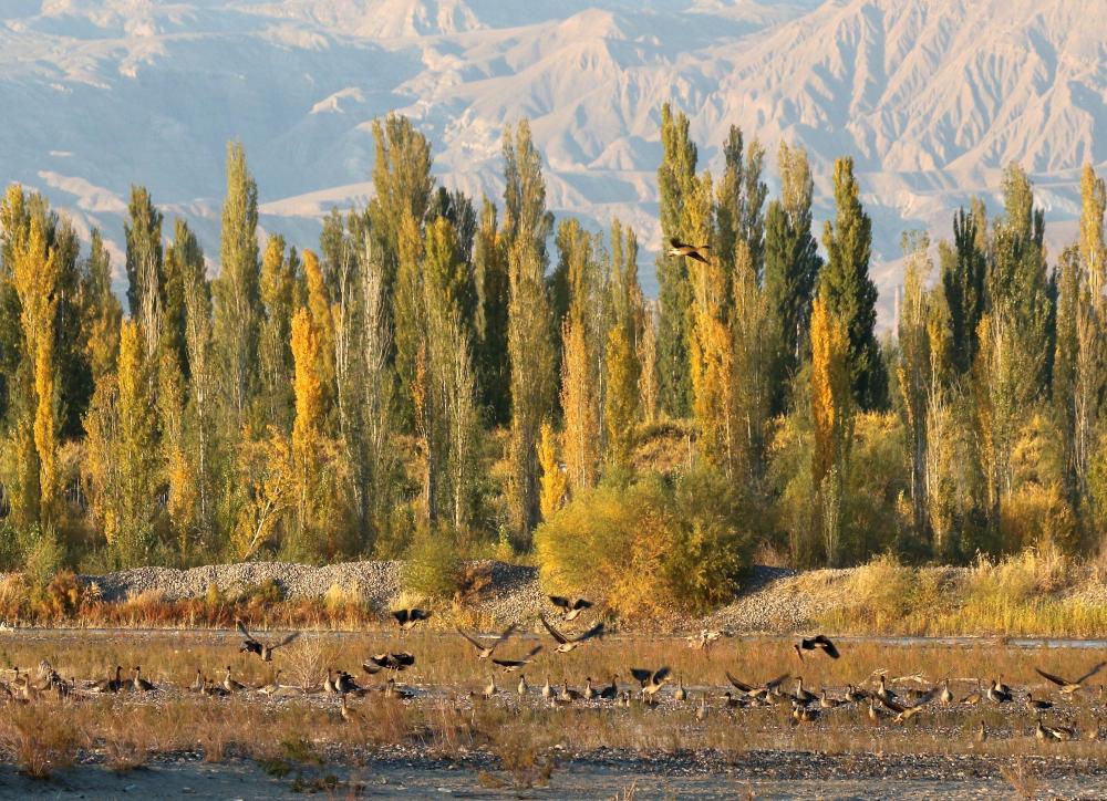 绿水青山丨新疆察布查尔:大雁南飞羽翩然