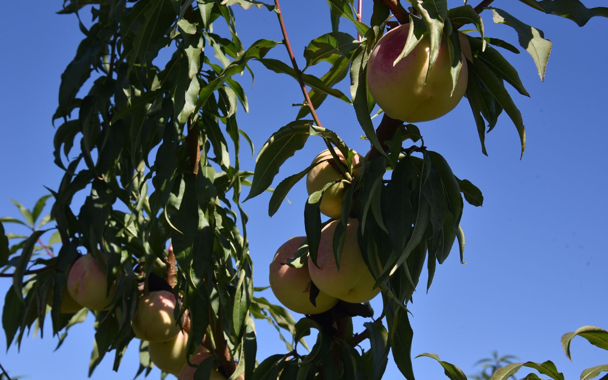 晚桃已经成熟了。受访者供图