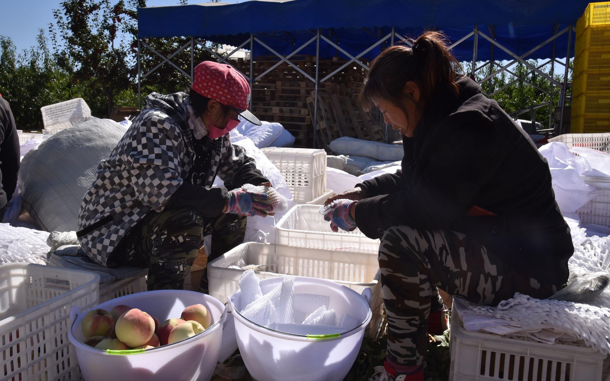 """能放到元旦春节的桃子成熟了 北京密云晚桃""""元春""""上市图片"""