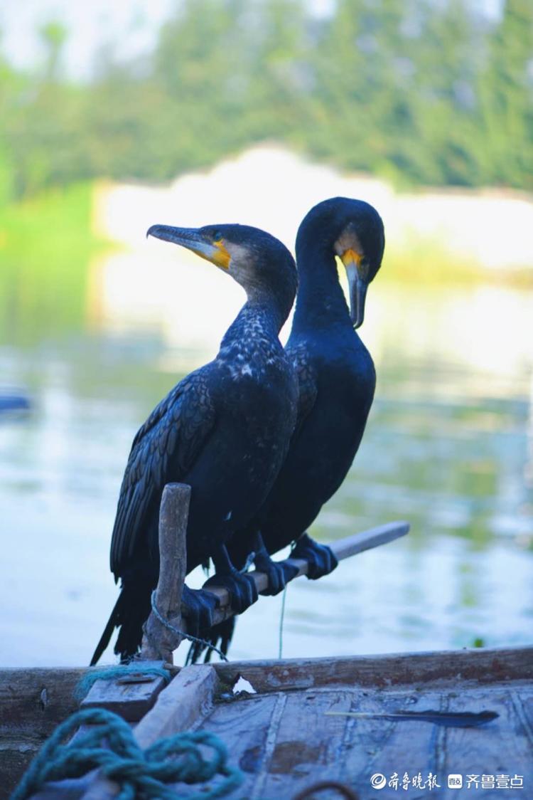 微山湖上,老人与渔鹰