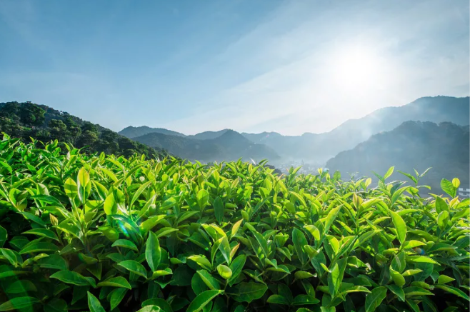 记者在扶贫一线|一杯茶打响国内外亮丽名片 湘西古丈差异化发展茶产业带领村民走上富裕路
