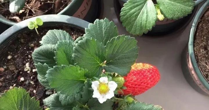 """盆栽草莓怎么种?有""""两点""""很关键,成活率高挂果率高顺利吃到果"""