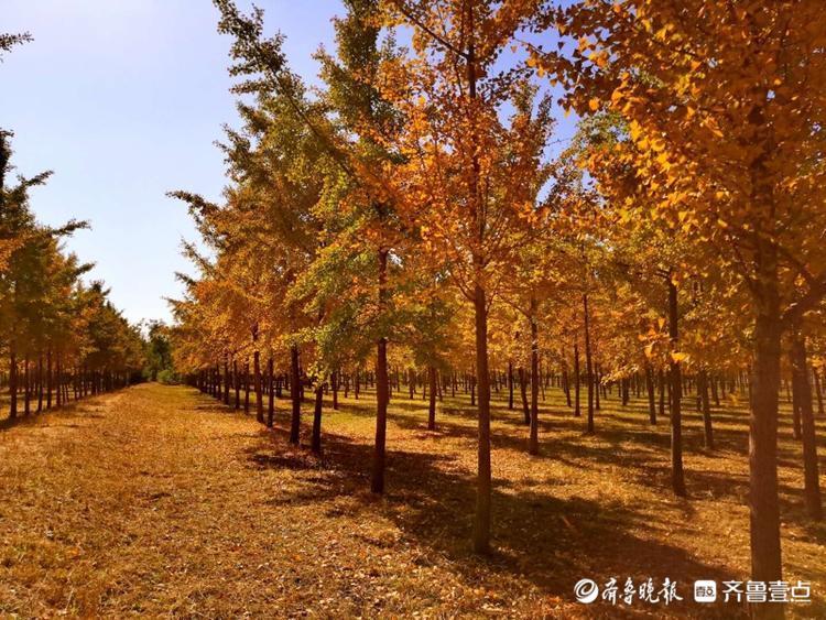 黄河大坝银杏林,金黄一片