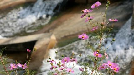 花舞凤凰湖:翠柳菊黄,曲岸接疏野,临水格桑,百花争开靥……