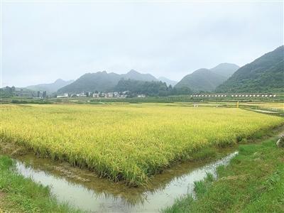 科技扶贫,助力瓮安县水耳村新模式提升稻田养鱼存活率
