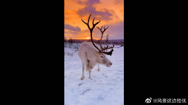 来自雪原森林的神灵~驯鹿,在遥远的深处守护你的美好