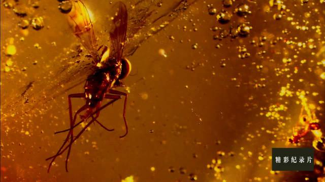 昆虫琥珀用永恒的定格瞬间讲述着不同的故事!