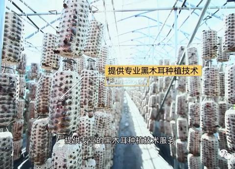 木耳有才持紫橐 ---林甸县黑木耳产业发展工作纪实