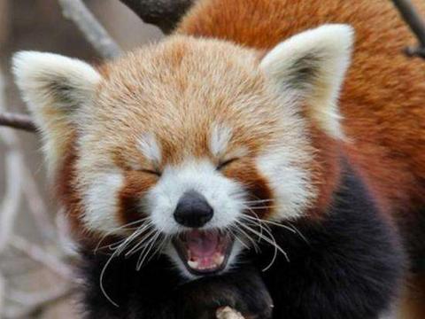 萌萌哒超可爱 到现在才知道原来大熊猫是大熊猫 小熊猫是小熊猫