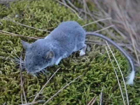 安徽发现新物种猪尾鼠,到底是怎样一个东西?