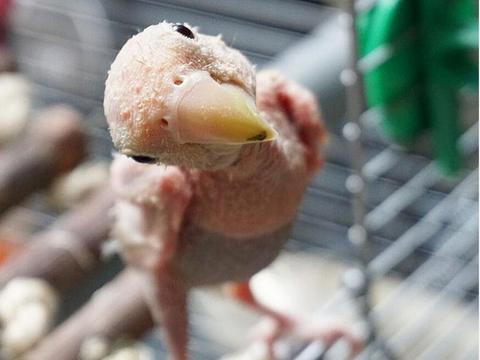 小鸟患病浑身光秃秃,好心姑娘将其收养,网友捐款捐物