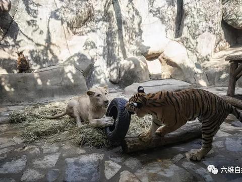 一头白狮和一孟加拉虎成为好朋友,经常一起玩耍,偶尔上演争夺战